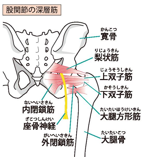 坐骨神経の図