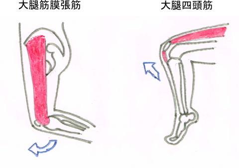 膝を伸ばす筋肉の絵
